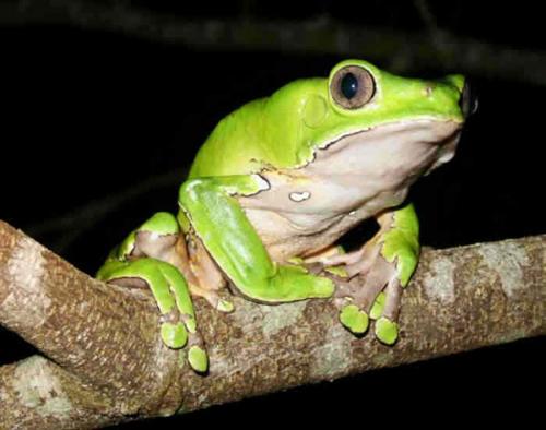 צפרדע קומבו -קרדיט צילום: Guido W. Stiehle