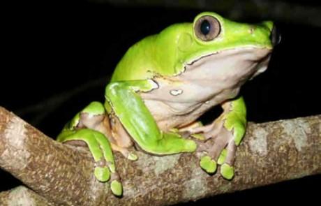 קמבו -ארס צפרדעים לטיפול